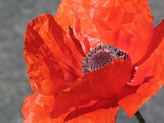 Poppy by rhys