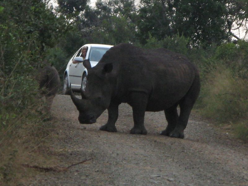 Rhino in road