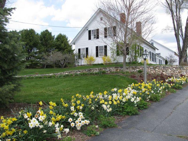 Bridgton daffodils