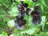 Black_hollyhock