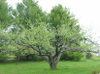 Old_apple_tree